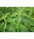 Eau d'Ortie Bio - Plantes et Potions